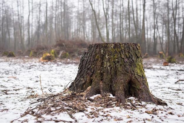 Toco de uma árvore cortada
