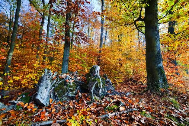Tocos de árvores e folhas de outono