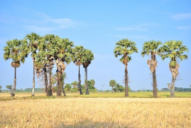 Toddy ou sugar palmeiras no campo, tailândia