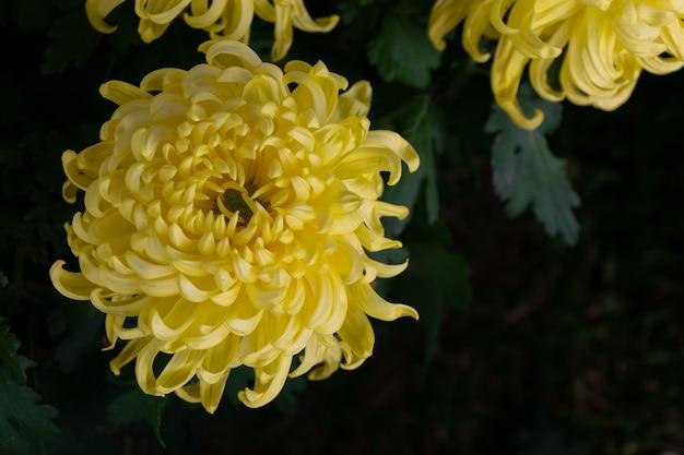 Todos os tipos de crisântemos amarelos estão em flor