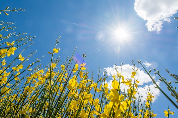 Tojo ou genista na primavera com céu e nuvens, fundo sazonal