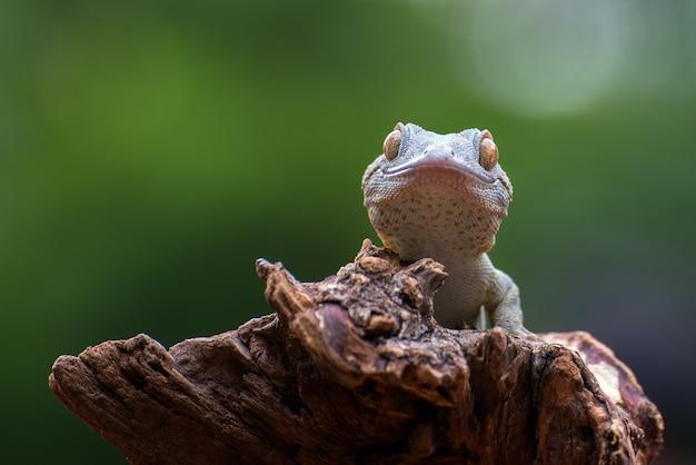 Tokay gecko em galho de árvore após muda