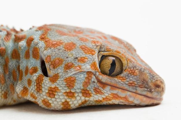 Tokay gecko gekko gecko isolado no fundo branco