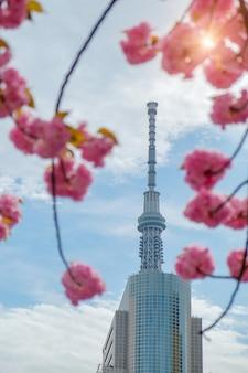 Tokyo skytree com flores de cerejeira em plena floração (rosa sakura) no rio sumida