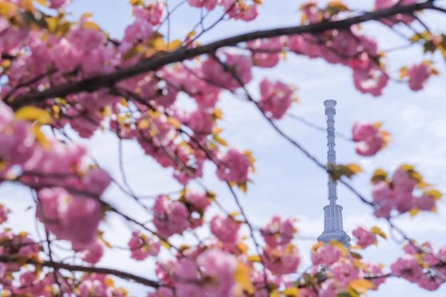 Tokyo skytree com flores de cerejeira em plena floração