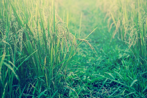Tom clássico da cor do vintage retro verde do campo do arroz para o fundo