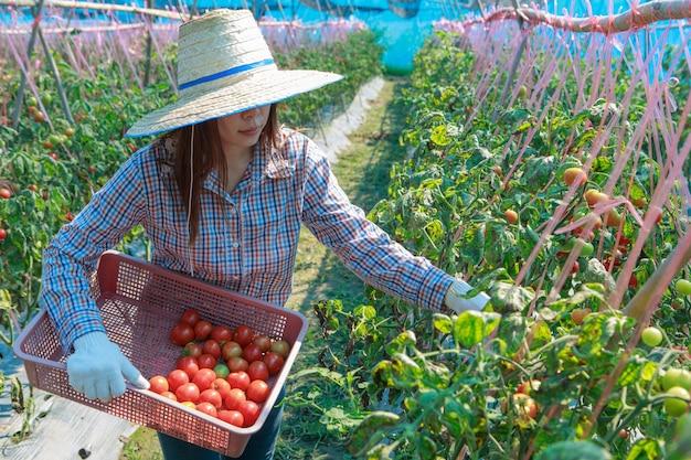 Tomate da colheita do fazendeiro da rapariga. conceito de agricultura e produção de alimentos.