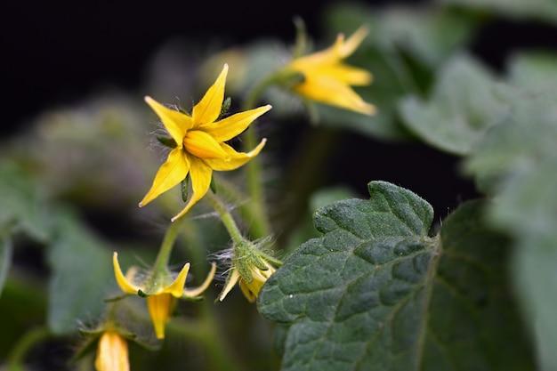 Tomate de planta jovem tomate florescimento