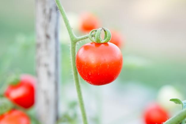 Tomate do corinto vermelho na horta.