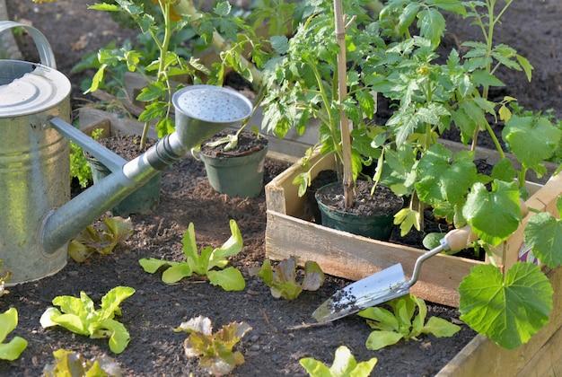 Tomate e alface em uma caixa colocada no solo de uma horta para plantio