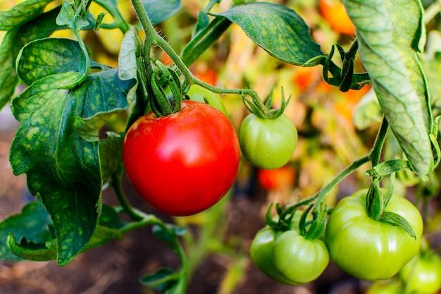 Tomate maduro crescendo em terreno aberto