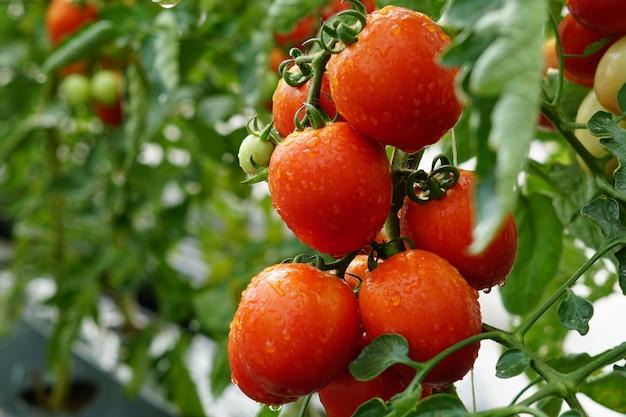 Tomate maduro vermelho com gotas de água em uma estufa