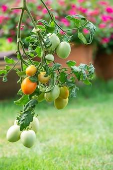 Tomate, muitos na árvore no jardim.