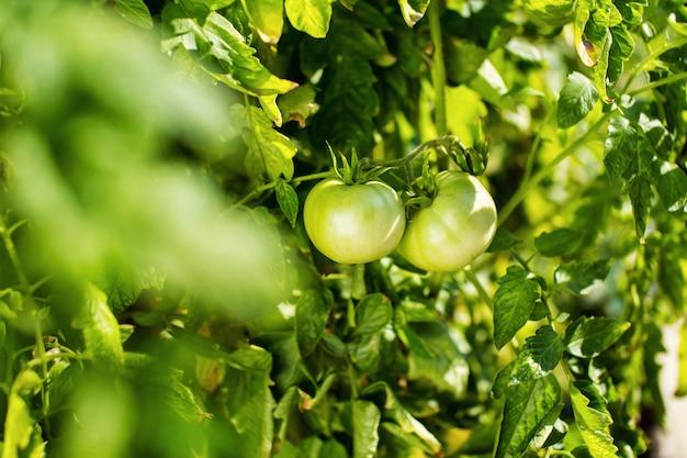 Tomate verde pendurar em um galho