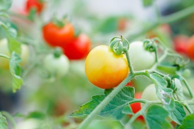 Tomate vermelho e alaranjado da passa de corinto na horta.