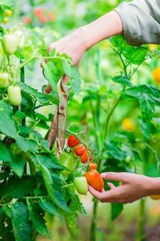 Tomate vermelho em estufa, mulher corta sua colheita