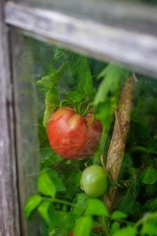 Tomates amadurecem na estufa. colheita em casa. colheita na estufa.