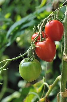 Tomates amadurecendo