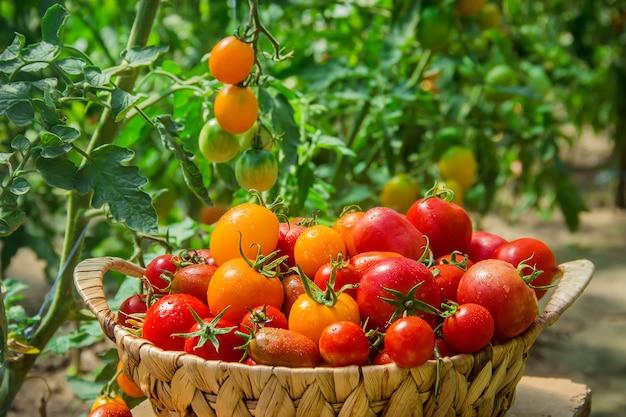 Tomates caseiros na cesta. foco seletivo.