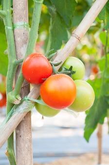 Tomates cereja frescos no jardim