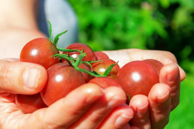 Tomates cereja vermelhos maduros na mão de uma mulher. agricultor segurando colheita de tomates nas mãos no verão. fechar-se. . mulher segurando produtos agrícolas. cultivo de plantas ecológicas orgânicas.