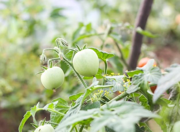 Tomates crescendo em estufa.