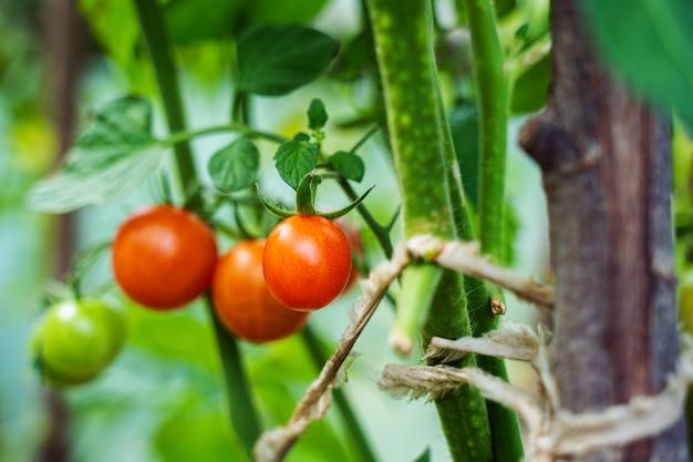 Tomates crescendo em uma estufa. conceito de cultivo de vegetais