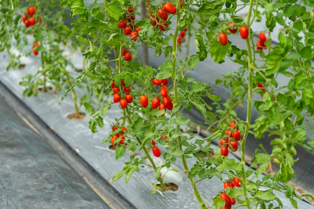 Tomates cultivados na casa de modernos sistemas de tecnologia agrícola