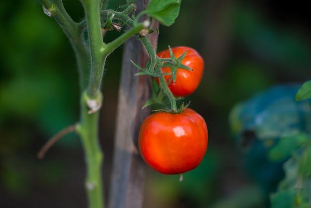 Tomates de horta orgânica em um galho, foco seletivo