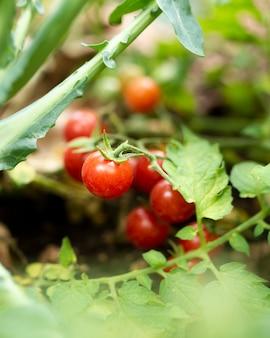 Tomates de jardim escondidos nas folhas verdes