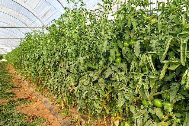 Tomates de plantas crescendo dentro da estufa.