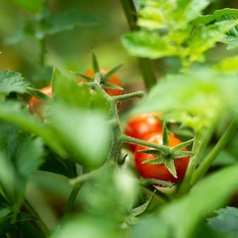 Tomates deliciosos escondidos nas folhas verdes