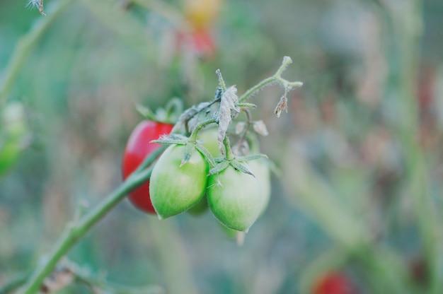Tomates doces frescos em um jardim