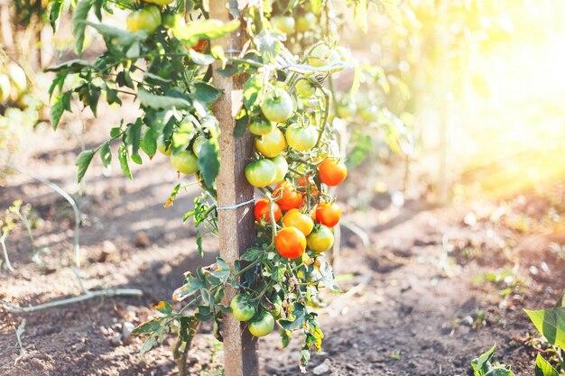 Tomates em um arbusto em uma horta vermelha madura e verde