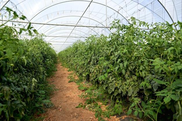 Tomates em uma estufa. horticultura. vegetais. agricultura.