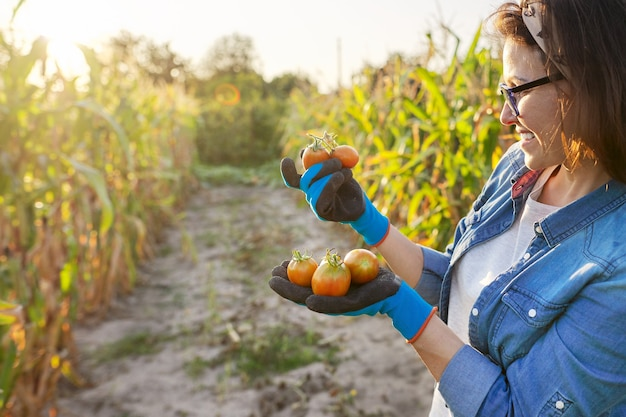 Tomates frescos e rasgados do jardim nas mãos. mulher jardineira, hobby e lazer cultivando vegetais de alimentos orgânicos. horta verão outono, canteiros com milho, cópia espaço