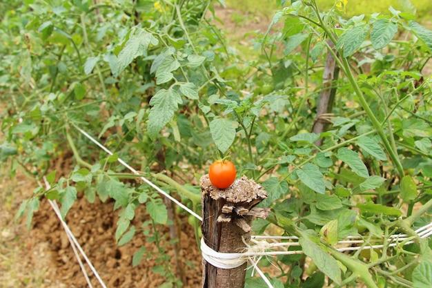 Tomates frescos na árvore no jardim