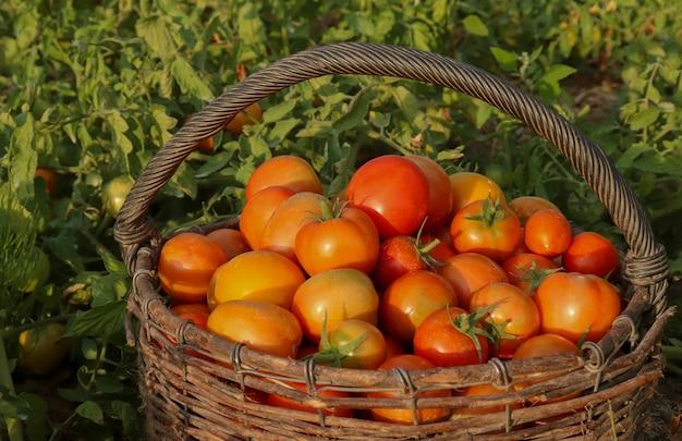Tomates maduros em uma cesta em um campo de tomate nos raios do sol poente. o conceito de produtos ecológicos, colheita de tomates pelos agricultores.