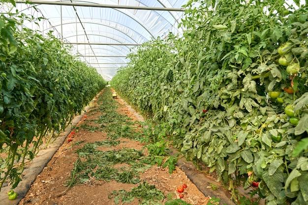 Tomates maduros naturais crescendo em um galho em uma estufa.
