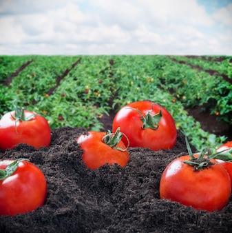 Tomates maduros no chão contra um campo