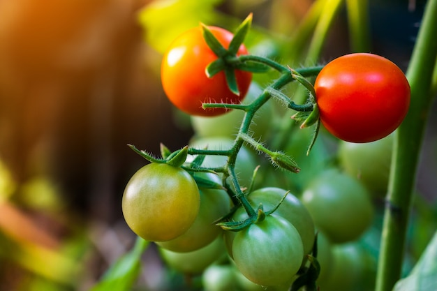 Tomates maduros vermelhos bonitos da herança crescidos em uma estufa.