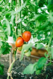 Tomates naturais maduros frescos no jardim