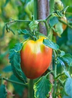 Tomates no campo