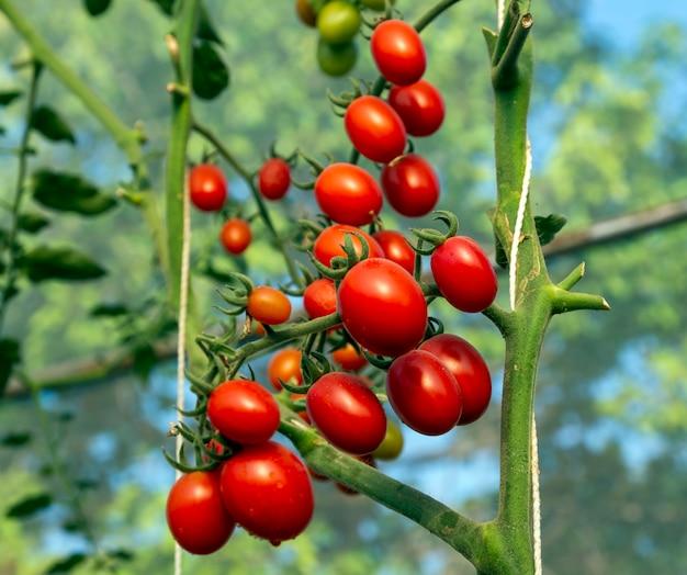 Tomates no jardim, horta com plantas de tomate vermelho.