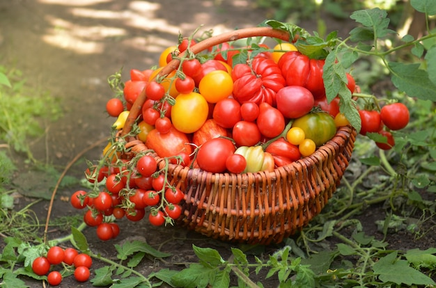 Tomates orgânicos em cesta de madeira