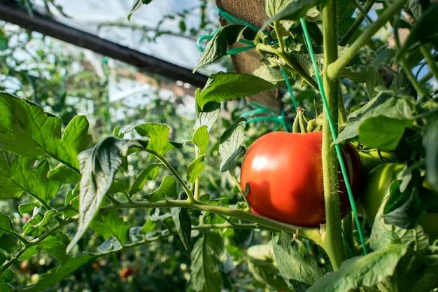 Tomates orgânicos maduros no jardim prontos para a colheita