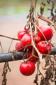 Tomates podres.