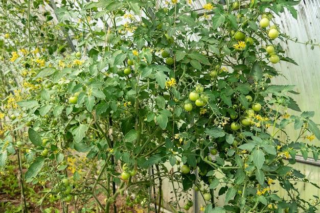 Tomates uva maduros e verdes no conceito de ecologia de fazenda hidropônica