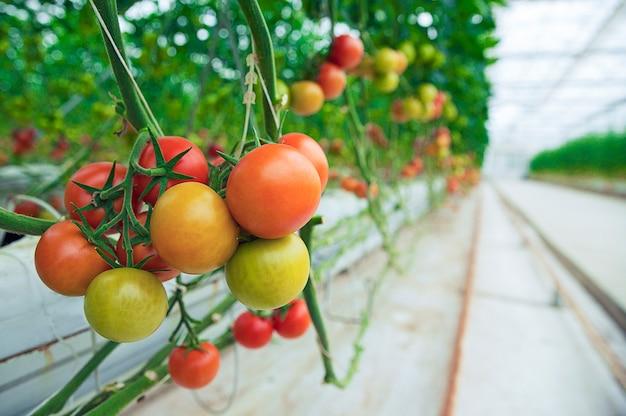 Tomates verdes, amarelos e vermelhos pendurados em suas plantas dentro de uma estufa, vista próxima.