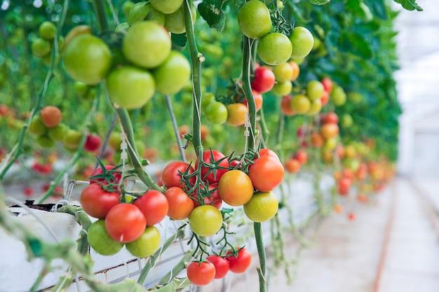 Tomates verdes, amarelos e vermelhos pendurados em suas plantas dentro de uma estufa.
